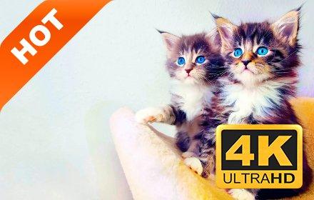 可爱小猫 高清壁纸 精选宠物系列 热门主题插件截图