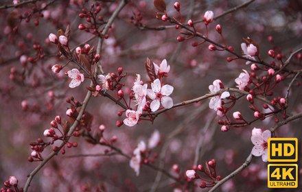 Cherry Blossom New Tab插件截图