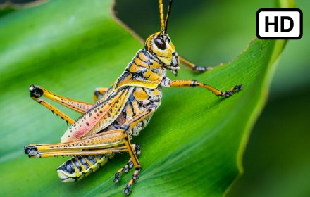 Grasshopper HD Wallpapers New Tab插件截图